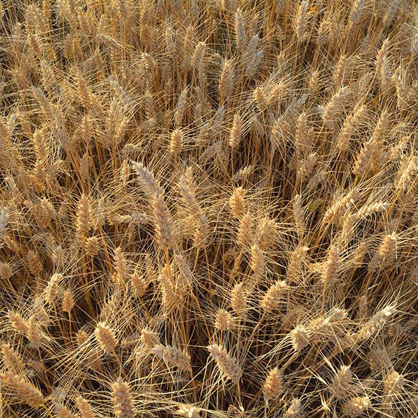 wheat_field_square Pasta 101