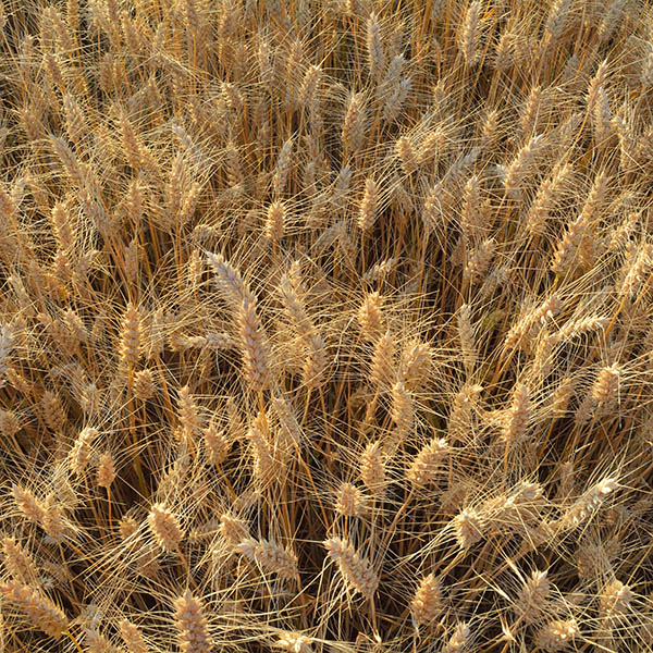 wheat_field_square Pasta 101